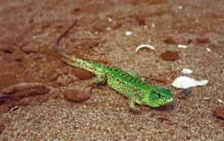 Agilis verdes del Lacerta del lagarto de arena en la arena Imagenes de archivo