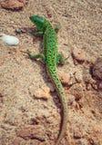 Agilis verdes del Lacerta del lagarto de arena en la arena Fotos de archivo libres de regalías