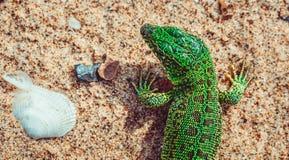 Agilis verdes del Lacerta del lagarto de arena en la arena Foto de archivo