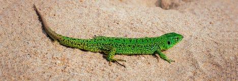 Agilis verdes del Lacerta del lagarto de arena en la arena Bandera panorámica Imagenes de archivo