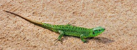 Agilis verdes del Lacerta del lagarto de arena en la arena Bandera panorámica Imagen de archivo