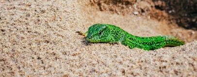 Agilis verdes del Lacerta del lagarto de arena en la arena Bandera panorámica Fotos de archivo