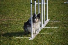 Agilità dei pali del tessuto di Sheltie del cane pastore di Shetland Fotografie Stock Libere da Diritti