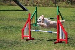 Agilità del cane Fotografia Stock