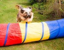 Agilità del cane con il salto del Terrier tibetano Fotografie Stock