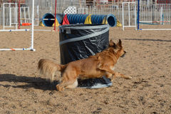 Agilità del cane: il barilotto Fotografia Stock