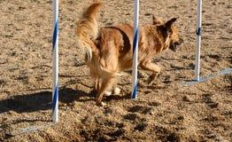 Agilità del cane: pali del tessuto Fotografia Stock