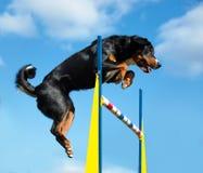 Agilità tricolore del jimp del cane sui precedenti del cielo Fotografia Stock Libera da Diritti