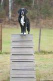 Agilité de chien Image stock