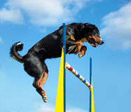 Agilité tricolore de jimp de chien sur le fond de ciel Photographie stock libre de droits