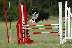Agility. Active Border Collie dog jumping a hurdle having private agility training for a sports competition Royalty Free Stock Image
