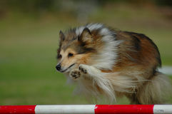 Agility. An active little Sheltie dog jumping a hurdle in an agility sport competition Stock Photography