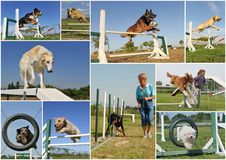 Agility. Composite picture with purebred dogs in training of agility Stock Photo