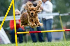 Agility. Dog skill competition stock photography