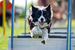 Agility. Dog skill competition Stock Images