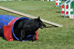 Agility. Belgian shepherd groenendael during agility training stock image