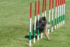 Agility. Belgian shepherd tervueren during agility training royalty free stock images