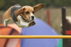 Agility. Beagle dog jump over hurdle agility stock photos