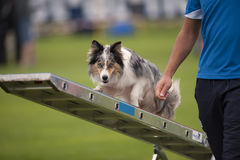 Agility balance. A handler man showing his dog how correctly find a balance on agility swing Stock Image