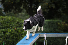 Agility bridge. Border collie running in an agility parcour Royalty Free Stock Image