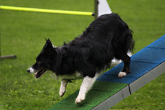 Agility bridge. Border collie running in an agility parcour Stock Image