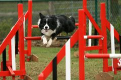 Agility competition Stock Image