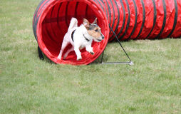 Agility Course Tunnel. Stock Photo
