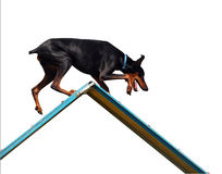 Agility Doberman on A-Frame Royalty Free Stock Photo