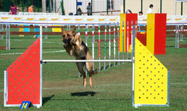 Agility Dog royalty free stock image