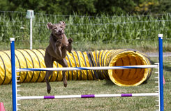 Agility Dog Stock Images