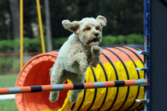 Agility dog. Dog jumping in agility competition royalty free stock photography