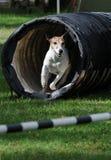 Agility dog stock image