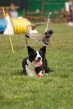Agility dog Stock Photo
