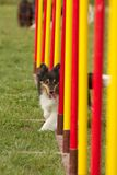 Agility dog Royalty Free Stock Images
