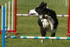 Agility Dog. Border Collie Jumping over Bar Stock Photography
