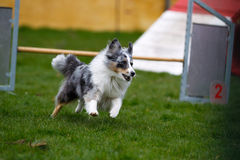 Agility dog. Border collie participating at outdoors agility competition royalty free stock photography