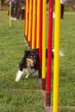 Agility dog Royalty Free Stock Image