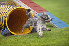 Agility dog. Cute small dog running on agility competition. He came out of yellow tunnel. Enjoying his fun time running and playing. He is purebred Pyrenean Stock Images