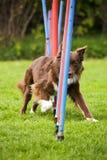 Agility dog doing slalom. Brown border collie doing slalom training at agility course Stock Image