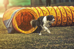Agility Dog Exiting Tunnel Royalty Free Stock Image