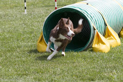 Agility Dog Going Through Tunnel. Dog going through a tunnel during an agility trial stock photo