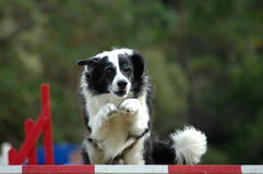 Agility dog jumping. Active Border Collie dog jumping a hurdle, having private training for an agility sport competition Royalty Free Stock Images