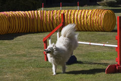 Agility dog jumping Royalty Free Stock Photo