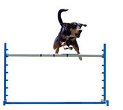 Agility Dog over a Jump Stock Images