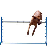 Agility Dog over a Jump Royalty Free Stock Image