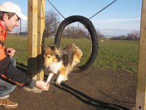 Agility dog sheltie Royalty Free Stock Photo