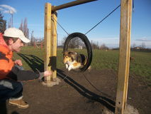 Agility dog sheltie. An active sheltie sheep dog jumping in agility training Royalty Free Stock Images