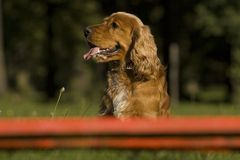 Agility - Dog skill competition. Royalty Free Stock Photos