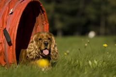 Agility - Dog skill competition. Royalty Free Stock Images