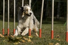 Agility - Dog skill competition. Stock Photos